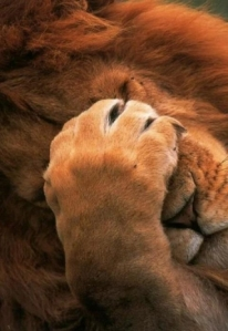 lion-facepalm-6778286e-sz320x466