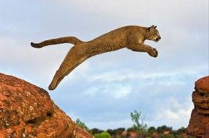 cougar-cat