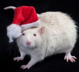 lab-rat-santa