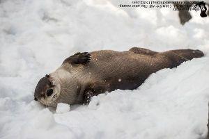 otter snow